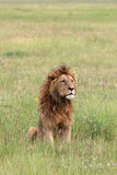 Leeuw in Ngorongoro Royalty-vrije Stock Fotografie