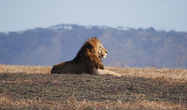 Leeuw in Ngorongoro N.P. Stock Afbeeldingen