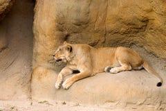 Leeuw onbeweeglijk stock fotografie