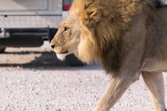 Leeuw op de weg Stock Afbeelding