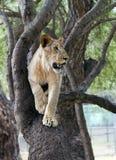 Leeuw op een boomtak Royalty-vrije Stock Afbeelding