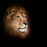 Leeuw op een zwarte achtergrond Stock Afbeelding