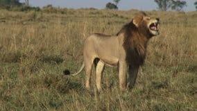Leeuw op gebied stock videobeelden