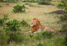 Leeuw op Masai Mara Stock Afbeelding