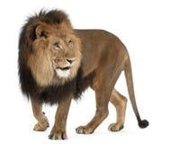 Leeuw, Panthera leo, 8 jaar oud, status Royalty-vrije Stock Foto
