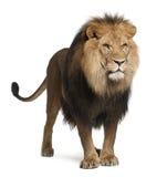 Leeuw, Panthera leo, 8 jaar oud, status Royalty-vrije Stock Afbeeldingen