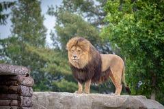 Leeuw in Regen Royalty-vrije Stock Foto's