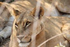 Leeuw in rustende stemming tijdens dagtijd stock fotografie