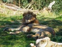 Leeuw in schaduw Stock Fotografie