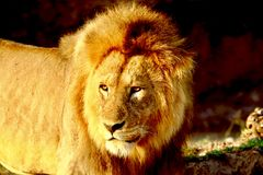 Leeuw in serengeti Royalty-vrije Stock Fotografie