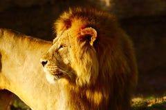 Leeuw in serengeti Stock Afbeelding