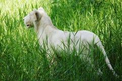 Leeuw in struik Stock Foto