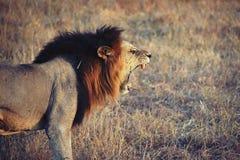 Leeuw in Tanzania Stock Afbeelding