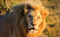Leeuw van Afrika Royalty-vrije Stock Afbeelding