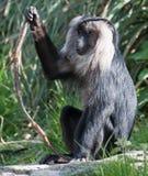 Leeuw van De steel verwijderde Macaque royalty-vrije stock foto
