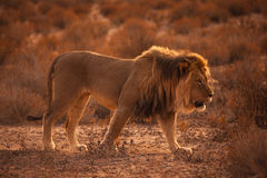 Leeuw 5215 van Kalahari Royalty-vrije Stock Afbeeldingen