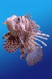Leeuw-vissen Stock Afbeeldingen