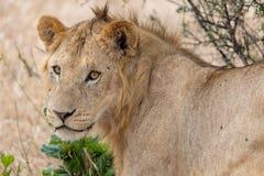 Leeuw waakzaam in de weiden op Masai Mara, Kenia Afrika stock foto