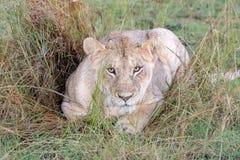 Leeuw in weiden op Masai Mara, Kenia Afrika stock afbeelding