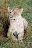 Leeuw in weiden op Masai Mara, Kenia Afrika stock afbeeldingen