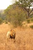 Leeuw in Zand Sabi stock fotografie