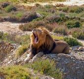 Leeuw 1, Zuid-Afrika stock afbeelding