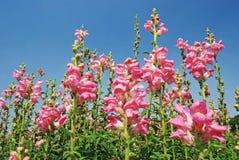 Leeuwebek, roze bloemen Royalty-vrije Stock Fotografie