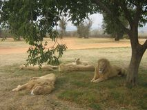 leeuwen Royalty-vrije Stock Fotografie