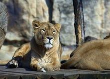 Leeuwen Stock Foto's