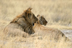 Leeuwen Royalty-vrije Stock Foto