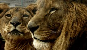 Leeuwen Stock Afbeelding