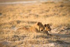 Leeuwen Royalty-vrije Stock Foto's