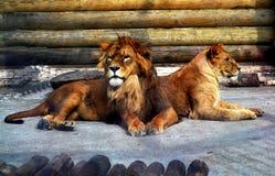 leeuwen Royalty-vrije Stock Afbeelding