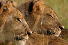 Leeuwen Royalty-vrije Stock Afbeeldingen