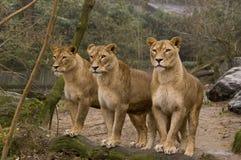 Leeuwen stock afbeeldingen