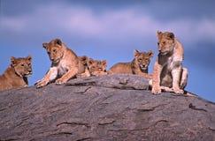 Leeuwen Stock Fotografie