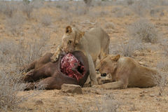 Leeuwen bij buffelsdoden Stock Foto