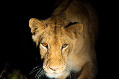Leeuwen bij nacht Royalty-vrije Stock Afbeelding