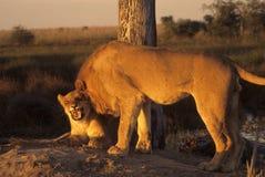 Leeuwen bij zonsondergang Stock Afbeelding