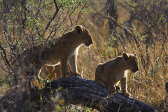 Leeuwen in Botswana Stock Foto