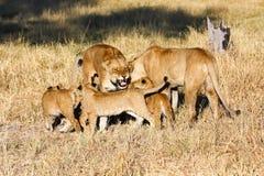 Leeuwen in Botswana Stock Afbeeldingen