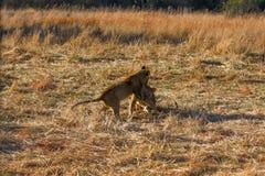 Leeuwen in Botswana Stock Afbeelding
