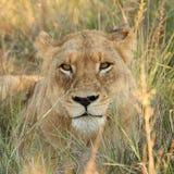 Leeuwen in de Reserve van het Spel van het Zand Sabi Stock Foto