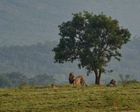 Leeuwen dichtbij boom bij de Entabeni-Milieubescherming in Zuid-Afrika Royalty-vrije Stock Afbeeldingen