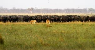 Leeuwen die Buffels jagen Stock Fotografie