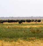 Leeuwen die Buffels jagen Stock Afbeelding