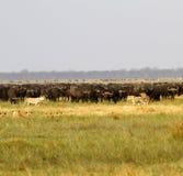 Leeuwen die Buffels jagen Royalty-vrije Stock Afbeeldingen