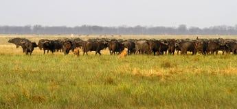 Leeuwen die Buffels jagen Royalty-vrije Stock Foto's
