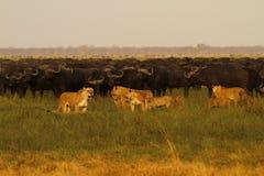 Leeuwen die Buffels jagen stock foto's