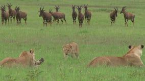 Leeuwen die in de vlaktes jagen stock videobeelden